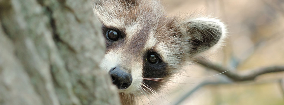 New York raccoon control