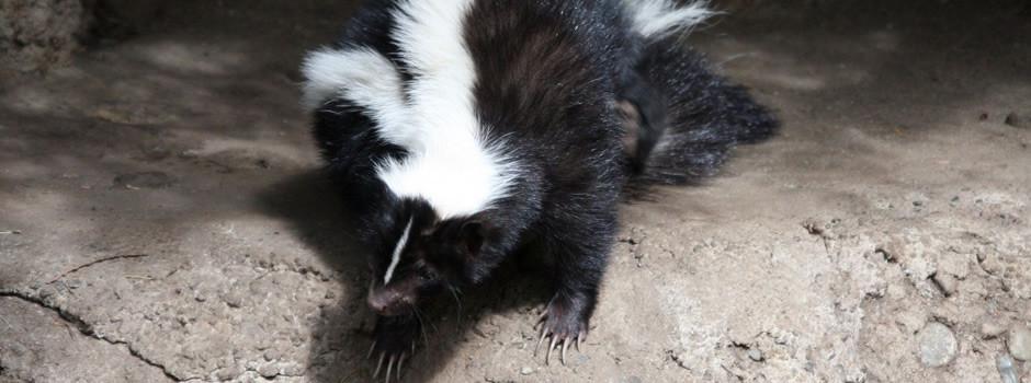 New York skunk control